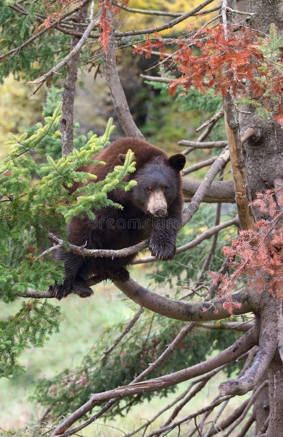 Ο αμερικανικός Μαύρος αντέχει σε ένα δέντρο στοκ εικόνες