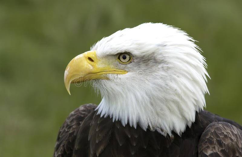 ο αμερικανικός φαλακρός στοκ φωτογραφία