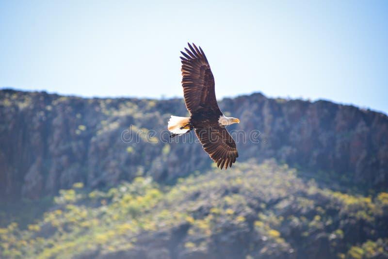Ο αμερικανικός φαλακρός αετός στα πουλιά του θηράματος παρουσιάζει στο πάρκο Palmitos σε Maspalomas, θλγραν θλθαναρηα, Ισπανία στοκ φωτογραφίες με δικαίωμα ελεύθερης χρήσης