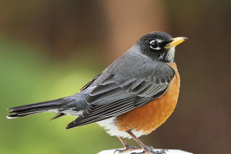 ο αμερικανικός Robin στοκ φωτογραφία με δικαίωμα ελεύθερης χρήσης