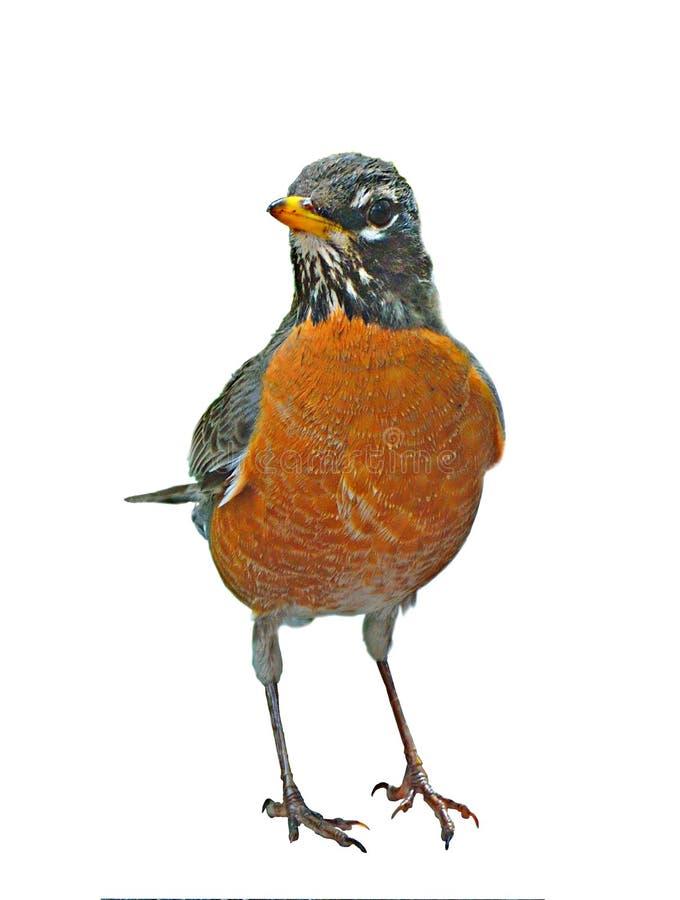ο αμερικανικός Robin στοκ εικόνες