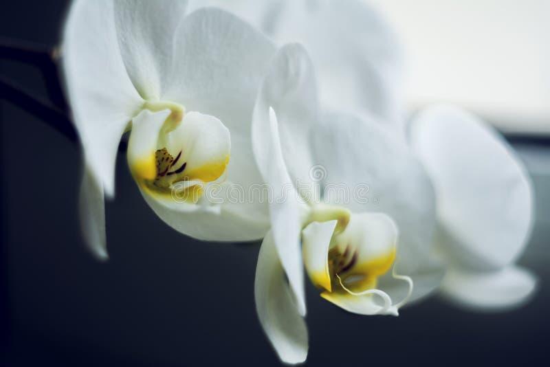 Ο ανθίζοντας κλάδος του όμορφου άσπρου λουλουδιού ορχιδεών με το κίτρινο κέντρο απομόνωσε τη μακροεντολή κινηματογραφήσεων σε πρώ στοκ εικόνες