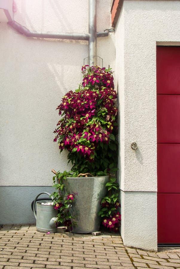 Ο ανθίζοντας vinous θάμνος clematis κοντά στο σπίτι σε έναν κάδο, πότισμα μπορεί και πόρτα γκαράζ στοκ φωτογραφίες