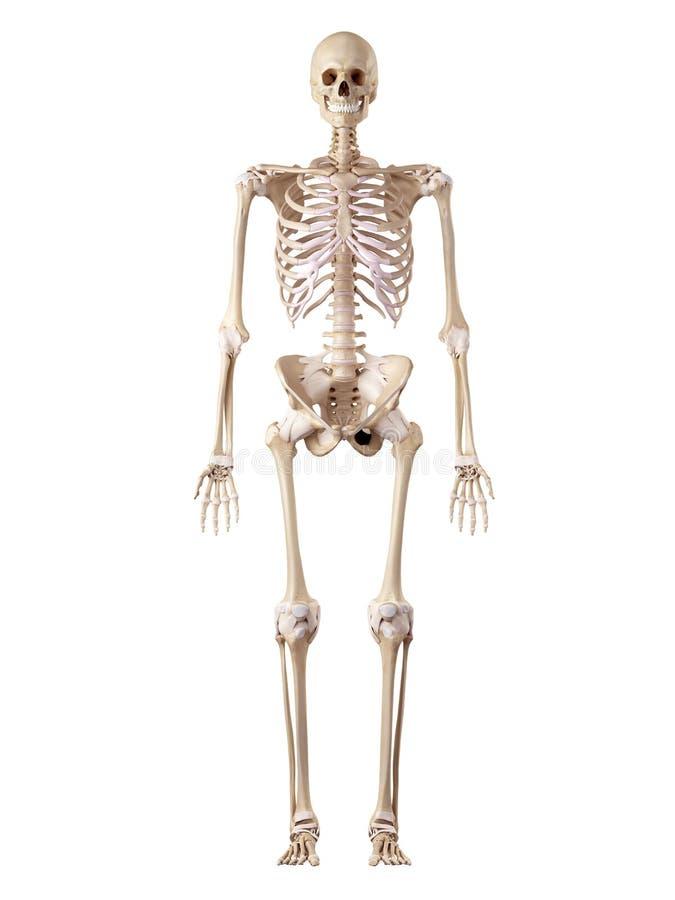 Ο ανθρώπινοι σκελετός και οι σύνδεσμοι διανυσματική απεικόνιση