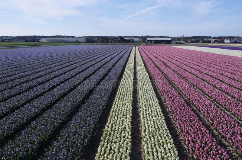 Ολλανδικοί τομείς λουλουδιών την άνοιξη στοκ εικόνα με δικαίωμα ελεύθερης χρήσης
