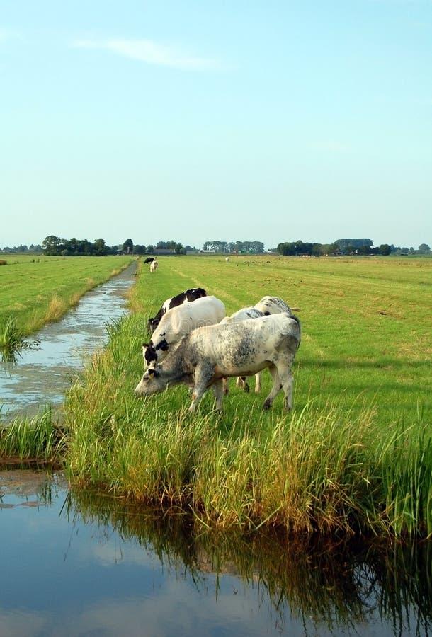 Ολλανδικό επίπεδο τοπίο με τις αγελάδες και τους τομείς χλόης στοκ εικόνες με δικαίωμα ελεύθερης χρήσης