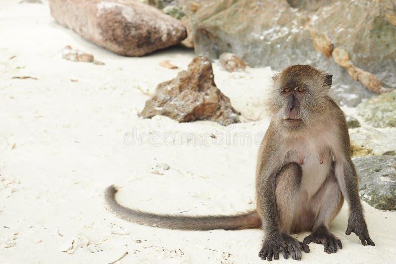 Ο απομονωμένος καφετής θηλυκός πίθηκος κάθεται στην παραλία μόνο στοκ φωτογραφία με δικαίωμα ελεύθερης χρήσης