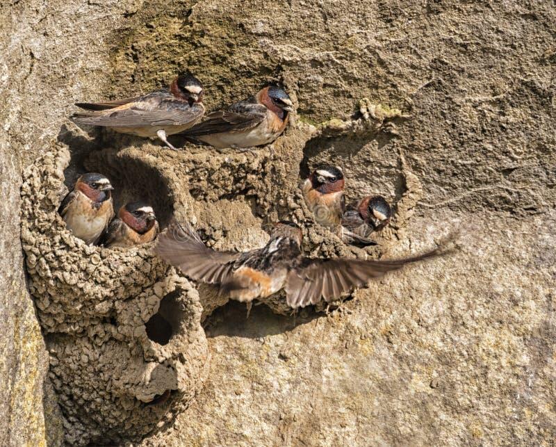 Ο απότομος βράχος καταπίνει τις φωλιές στοκ φωτογραφίες με δικαίωμα ελεύθερης χρήσης