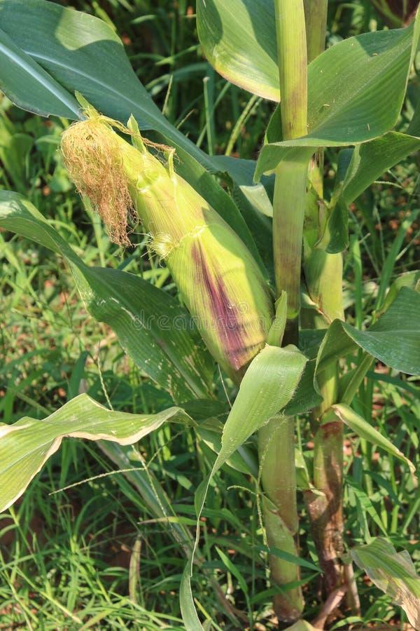 Ο αραβόσιτος γνωστός ως καλαμπόκι είναι ένα μεγάλο φυτό σιταριού Το φυλλώδες σπρώξιμο μίσχων στοκ εικόνα
