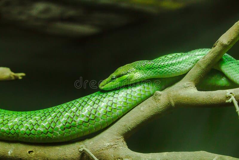 Ο αρουραίος παρακολούθησε Ratsnake το σώμα και το κεφάλι είναι πράσινο στοκ εικόνα