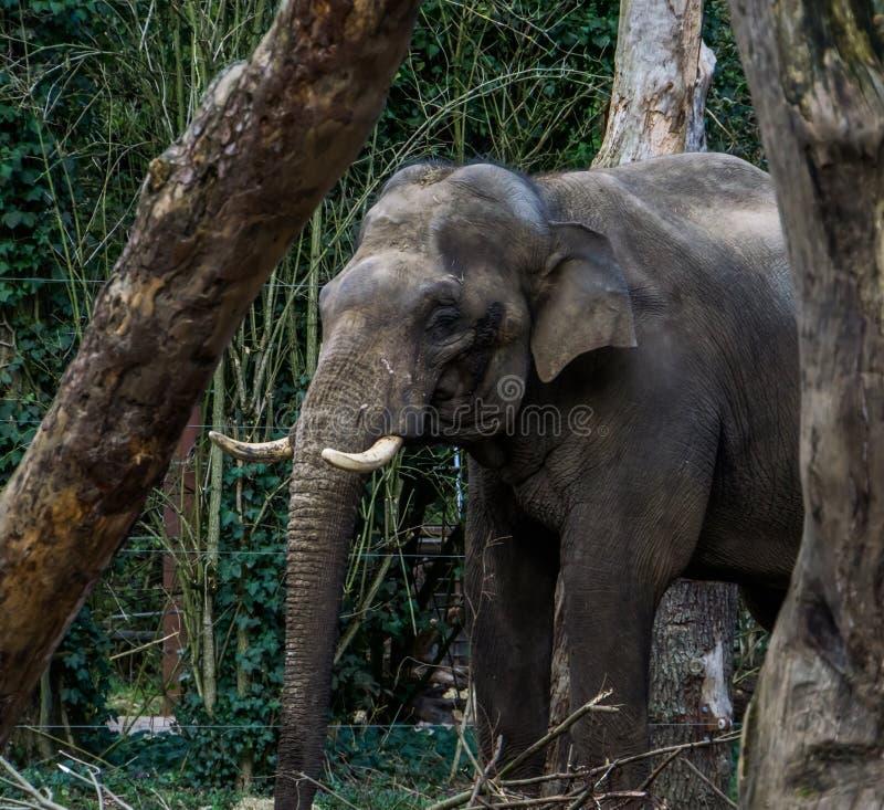 Ο αρσενικός ασιατικός ελέφαντας με το πρόσωπό του στην κινηματογράφηση σε πρώτο πλάνο, ο ελέφαντας, διακυβευμένο ζωικό specie από στοκ εικόνες