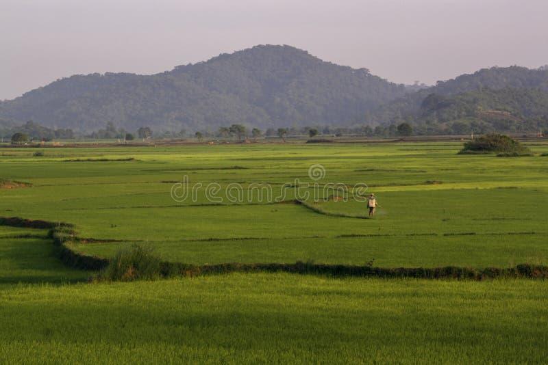 Ο ασιατικός εργαζόμενος χειρίζεται τους τομείς ρυζιού στοκ φωτογραφίες