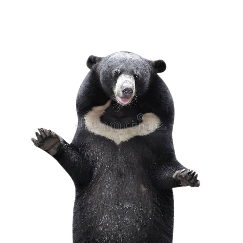 ο ασιατικός Μαύρος αντέχει στοκ φωτογραφία με δικαίωμα ελεύθερης χρήσης