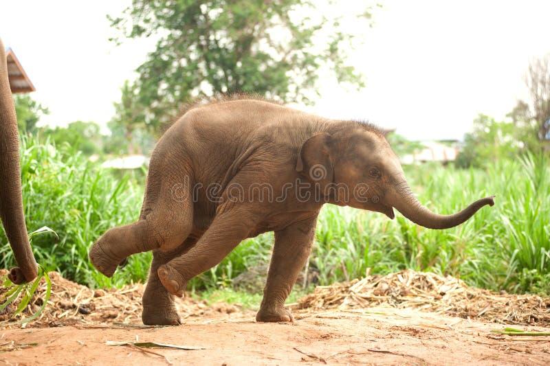 Ο ασιατικός χορός μωρών ελεφάντων είναι χαρωπά στοκ εικόνα με δικαίωμα ελεύθερης χρήσης