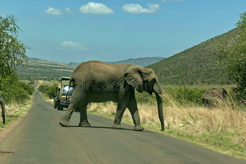 Ο αφρικανικός ελέφαντας έκοψε το δρόμο στοκ εικόνα