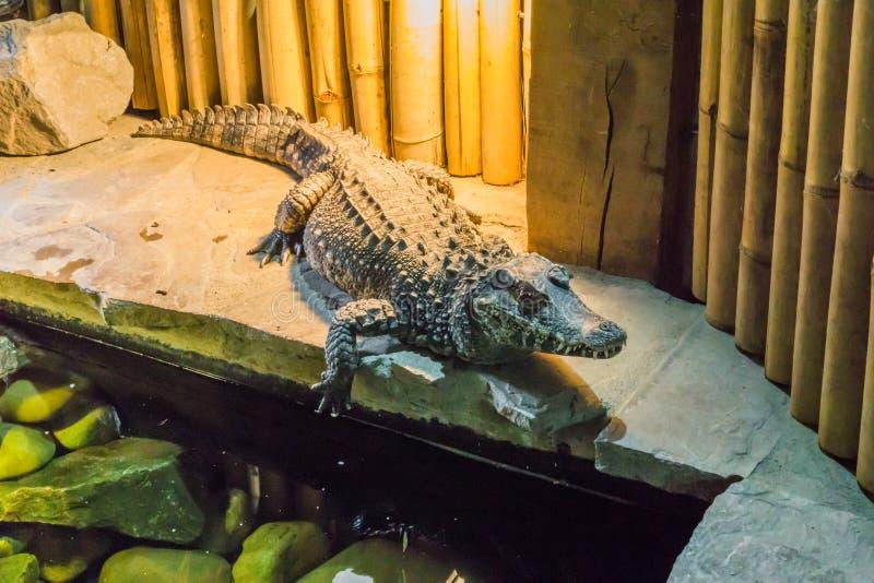 Ο αφρικανικός νάνος κροκόδειλος ξέρει επίσης ως οστεώδη ή ευρύ σκαμμένο με τη μουσούδα κροκόδειλο ένα άγριο ζώο από την Αφρική στοκ εικόνες