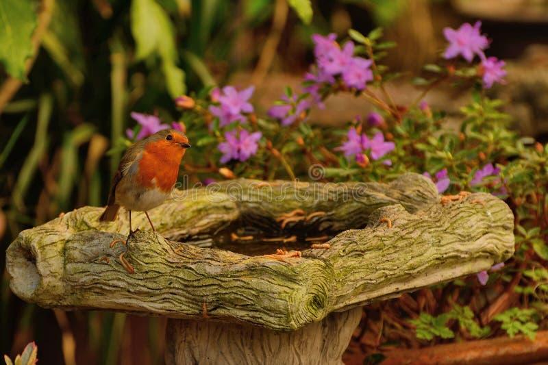 Ο αδιάκριτος Robin, rubecula Erithacus, στο birdbath στοκ εικόνες