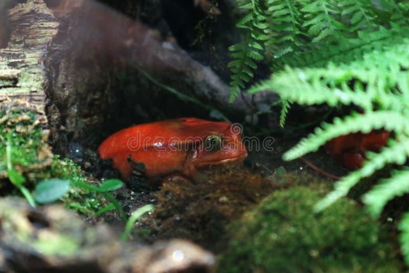Ο βάτραχος ντοματών είναι δηλητηριώδης στο τροπικό υγρό δάσος κάτω από το φωτεινό χρωματισμό φυλλώματος στοκ εικόνες