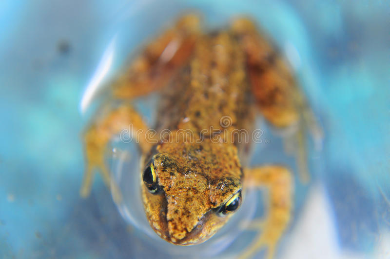 Ο βάτραχος στο νερό στοκ εικόνα με δικαίωμα ελεύθερης χρήσης