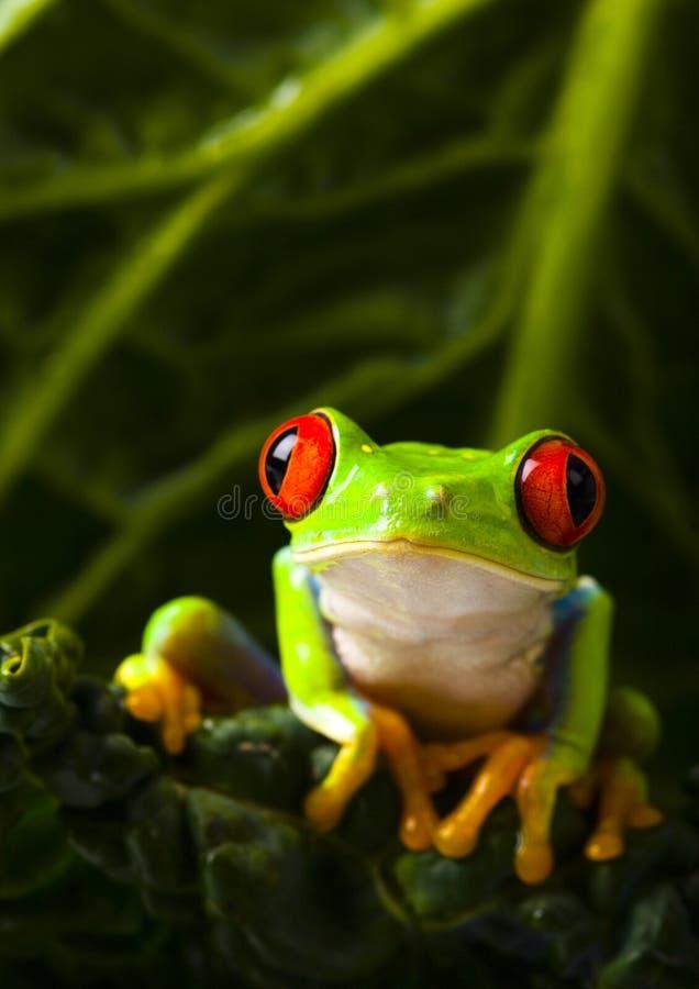 ο βάτραχος στοκ φωτογραφίες με δικαίωμα ελεύθερης χρήσης