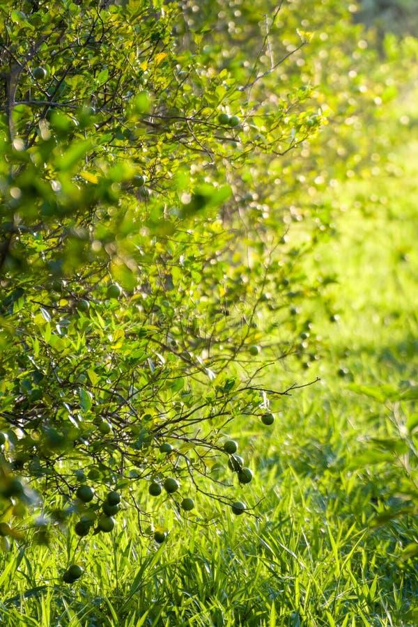 Ο βασικός ασβέστης είναι ένα υβρίδιο εσπεριδοειδών με σφαιρικά φρούτα, ο βασικός ασβέστης επιλέγεται συνήθως ενώ είναι ακόμα πράσ στοκ φωτογραφίες