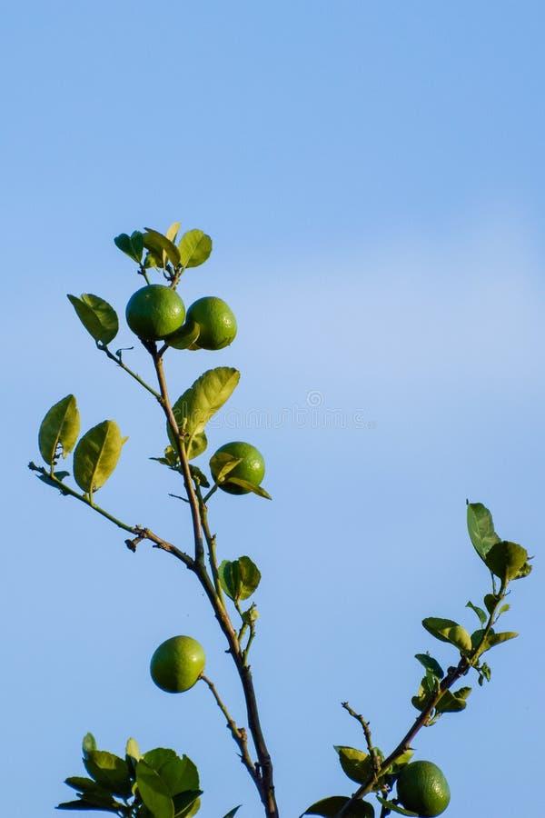 Ο βασικός ασβέστης είναι ένα υβρίδιο εσπεριδοειδών με σφαιρικά φρούτα, ο βασικός ασβέστης επιλέγεται συνήθως ενώ είναι ακόμα πράσ στοκ εικόνες