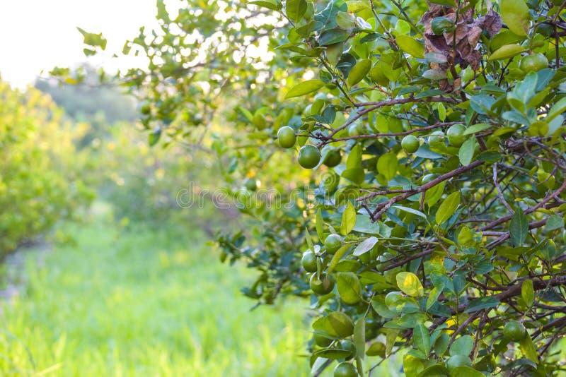 Ο βασικός ασβέστης είναι ένα υβρίδιο εσπεριδοειδών με σφαιρικά φρούτα, ο βασικός ασβέστης επιλέγεται συνήθως ενώ είναι ακόμα πράσ στοκ εικόνα με δικαίωμα ελεύθερης χρήσης