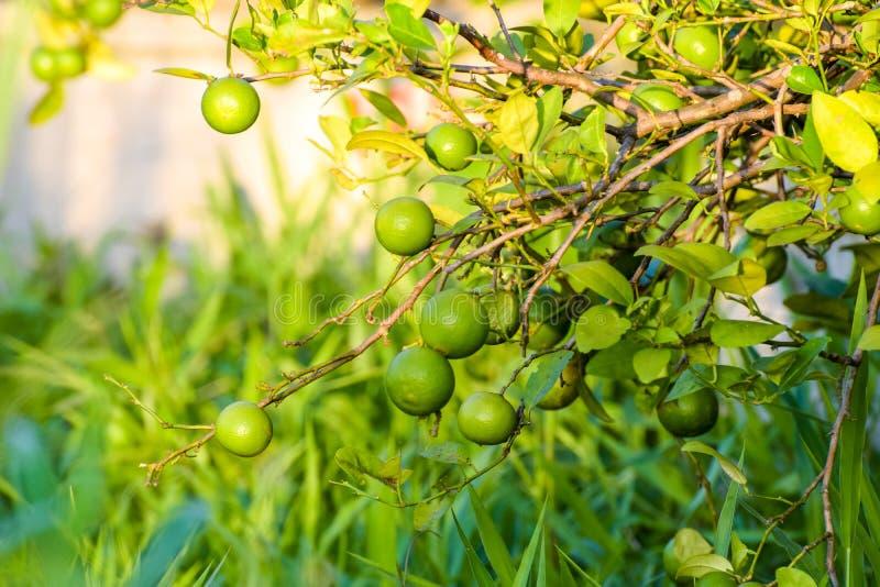 Ο βασικός ασβέστης είναι ένα υβρίδιο εσπεριδοειδών με σφαιρικά φρούτα, ο βασικός ασβέστης επιλέγεται συνήθως ενώ είναι ακόμα πράσ στοκ φωτογραφίες με δικαίωμα ελεύθερης χρήσης