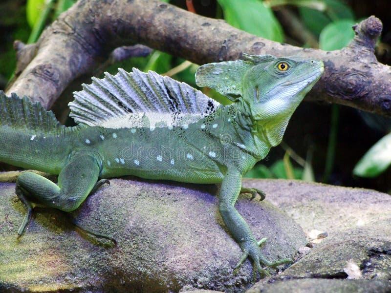 Ο βασιλίσκος Basiliscus plumifrons, πράσινος βασιλίσκος, διπλασιάζει το λοφιοφό στοκ εικόνες με δικαίωμα ελεύθερης χρήσης