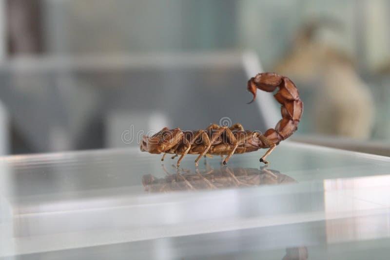 Ο βασιλιάς σκορπιών στοκ φωτογραφία με δικαίωμα ελεύθερης χρήσης