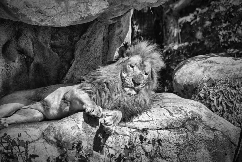 Ο βασιλιάς της ζούγκλας στοκ φωτογραφία με δικαίωμα ελεύθερης χρήσης