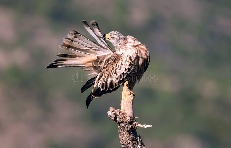 ο βασιλικός ικτίνος τακτοποιεί το φτέρωμά του σε ένα δέντρο στοκ φωτογραφία με δικαίωμα ελεύθερης χρήσης
