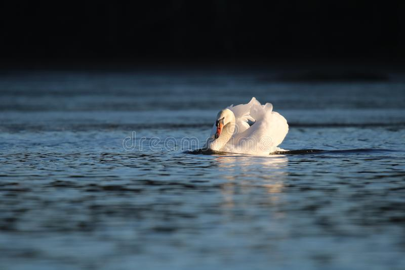 Ο βουβός Κύκνος στη στάση απειλής σε μια μπλε λίμνη στοκ φωτογραφία με δικαίωμα ελεύθερης χρήσης
