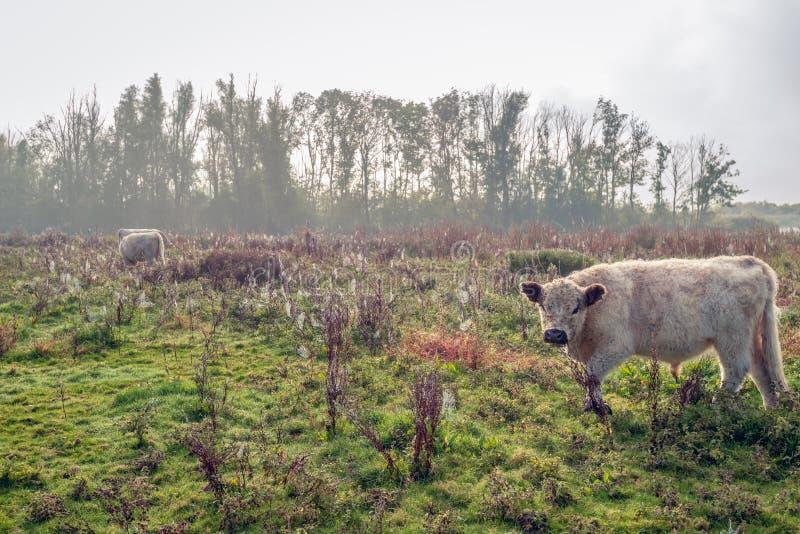 Ο γενναιόδωρος Galloway ταύρος με ένα κατσαρωμένο και μάλλινο παλτό εξετάζει το φωτογράφο στοκ φωτογραφία