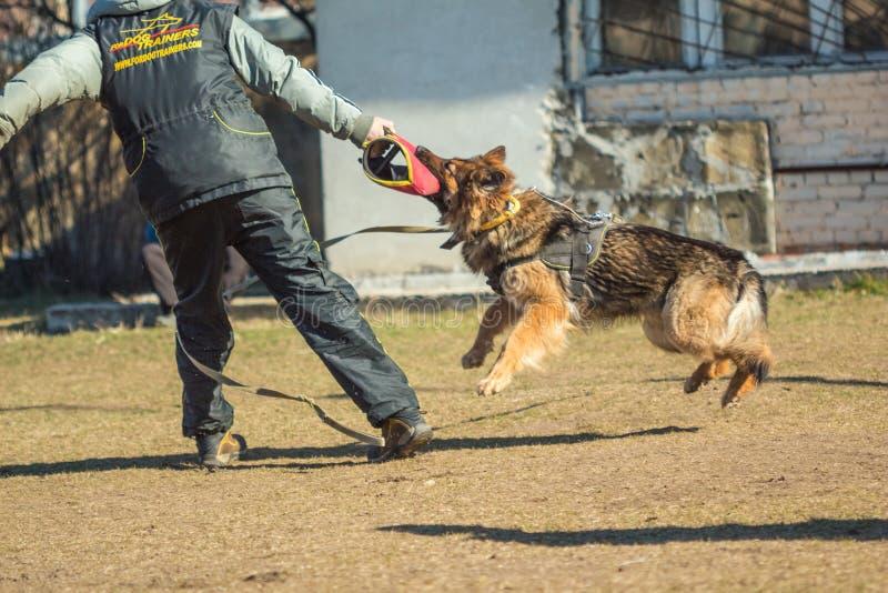 Ο γερμανικός ποιμένας άρπαξε δικών του παραδίδει τον εκπαιδευτικό χειριστή σκυλιών Gomel, στοκ φωτογραφίες με δικαίωμα ελεύθερης χρήσης