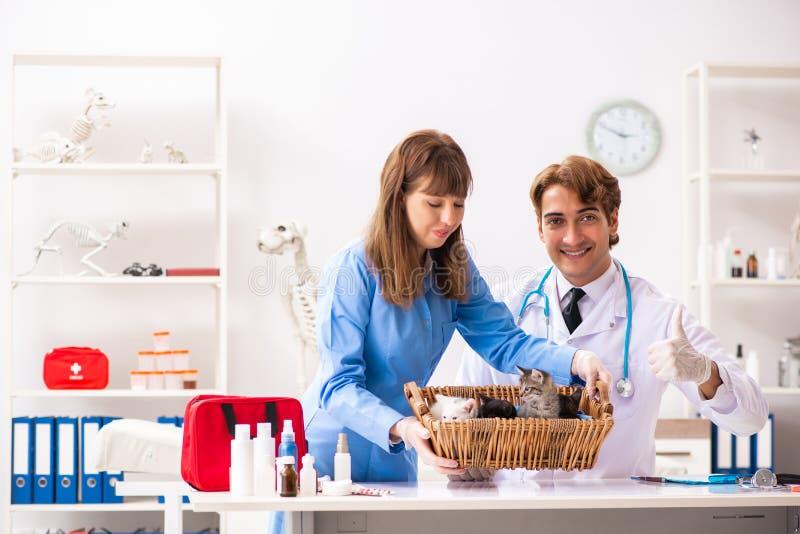 Ο γιατρός και ο βοηθός στην κλινική κτηνιάτρων που ελέγχουν επάνω το γατάκι στοκ εικόνα με δικαίωμα ελεύθερης χρήσης