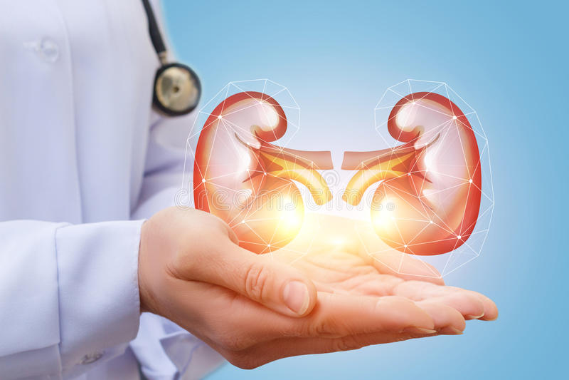 Ο γιατρός παρουσιάζει νεφρό στοκ εικόνα