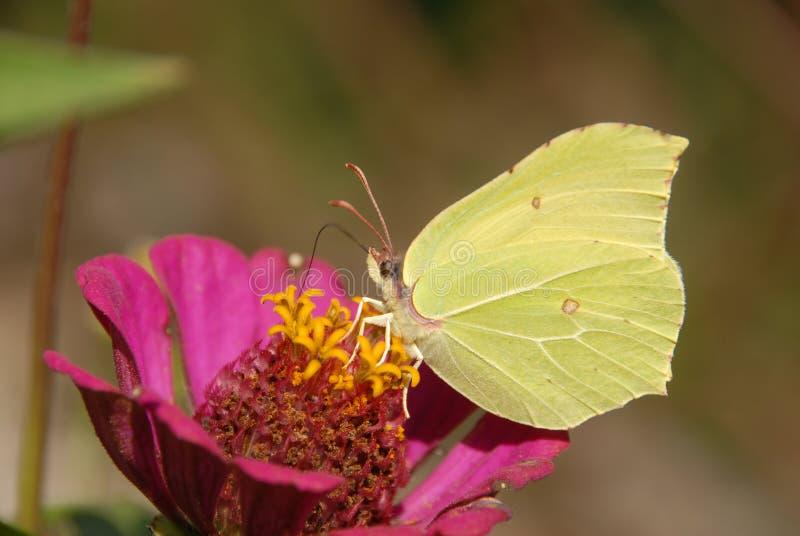 Ο Γκονεπτερύξ με την πεταλούδα στο άνθισμα των λουλουδιών στοκ εικόνες με δικαίωμα ελεύθερης χρήσης