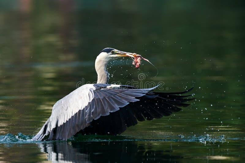 Download Ο γκρίζος ερωδιός απογειώνεται Στοκ Εικόνες - εικόνα από λίμνη, ύδωρ: 62702788