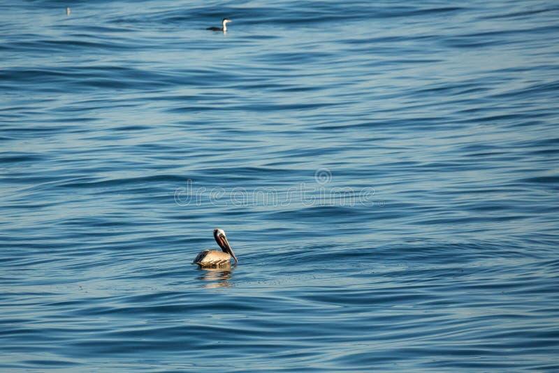 Ο γκρίζος πελεκάνος που επιπλέει στον ωκεανό πρήζεται στοκ φωτογραφία με δικαίωμα ελεύθερης χρήσης