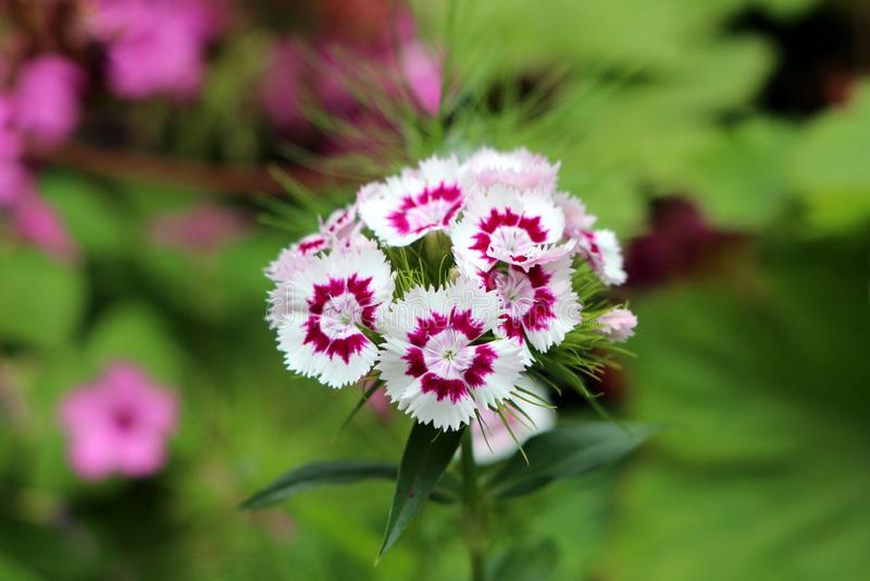Ο γλυκός William ή το ανθίζοντας φυτό barbatus Dianthus με τα δίχρωμα άσπρα και ανοικτό βιολετί πλήρως ανοικτά ανθίζοντας λουλούδ στοκ εικόνα