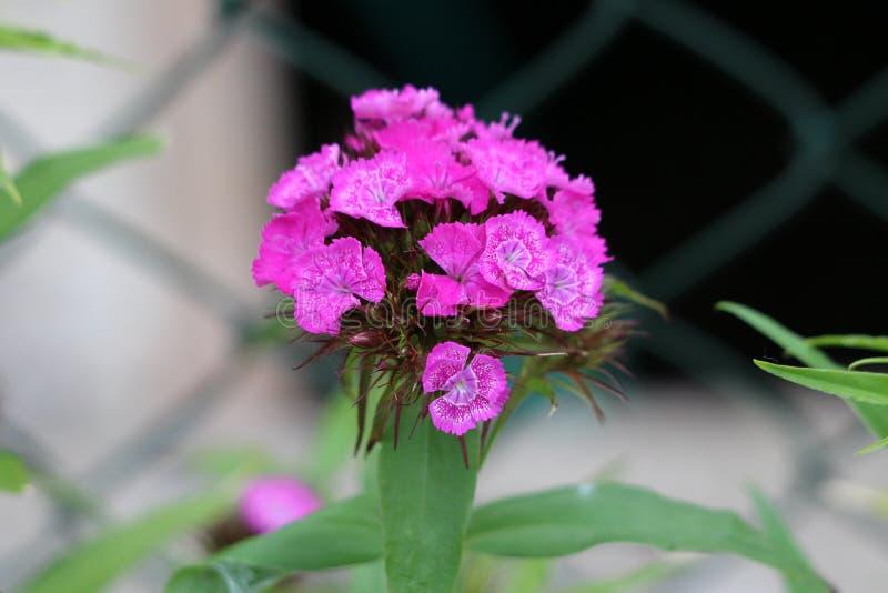 Ο γλυκός William ή το ανθίζοντας φυτό barbatus Dianthus με τα δίχρωμα ρόδινα και άσπρα πλήρως ανοικτά ανθίζοντας λουλούδια περιέβ στοκ φωτογραφία