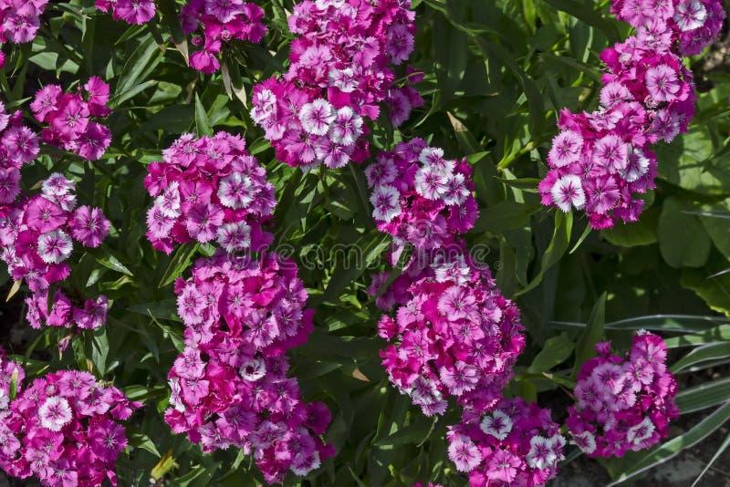 Ο γλυκό William ή το λουλούδι barbatus Dianthus είναι ένα ανθίζοντας φυτό στον κήπο, περιοχή Drujba στοκ εικόνες με δικαίωμα ελεύθερης χρήσης