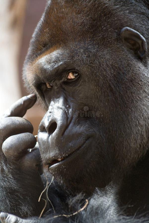ο γορίλλας σκέφτεται στοκ φωτογραφίες με δικαίωμα ελεύθερης χρήσης