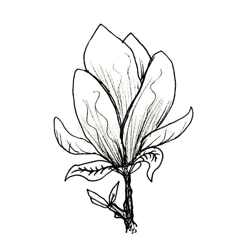 Ο γραφικός κλάδος του magnolia σύρεται με το χέρι με μια μαύρη μάνδρα Magnolia σε ένα απομονωμένο άσπρο υπόβαθρο ελεύθερη απεικόνιση δικαιώματος