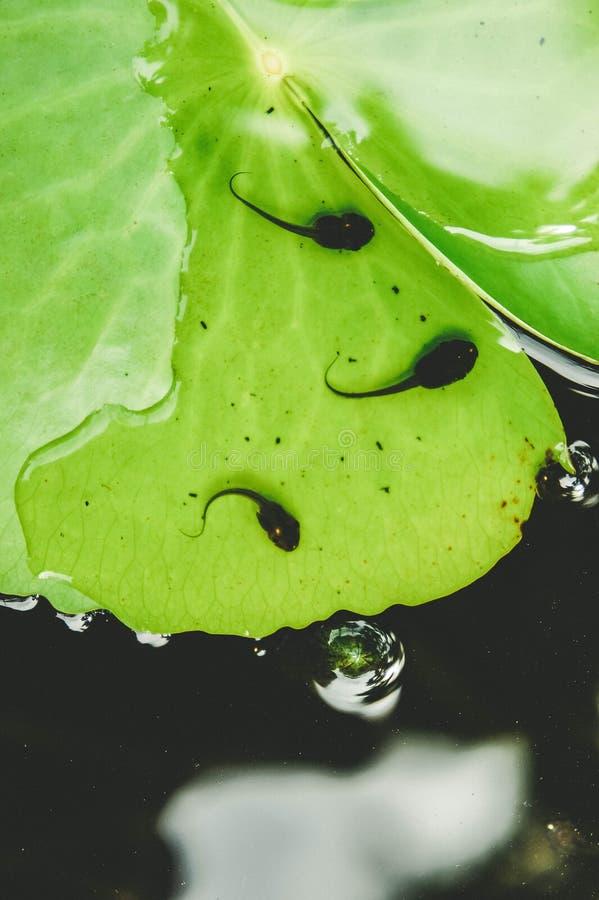 Ο γυρίνος στο λουλούδι λωτού στη λίμνη πριν από την πάλη στοκ εικόνες