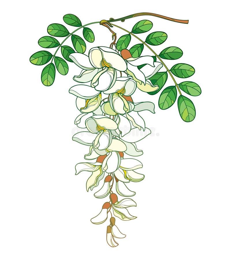 Ο διανυσματικός κλάδος της κρητιδογραφίας περιλήψεων που η άσπρη ψεύτικη ακακία ή η μαύρο ακρίδα ή Robinia ανθίζουν, βλαστάνει κα απεικόνιση αποθεμάτων