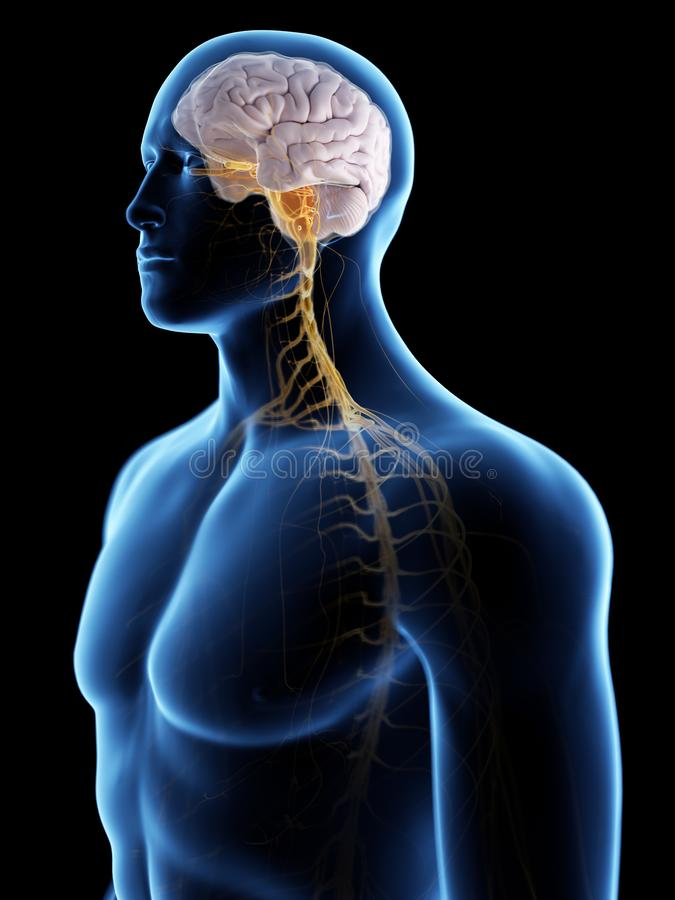 Ο εγκέφαλος και το νευρικό σύστημα διανυσματική απεικόνιση