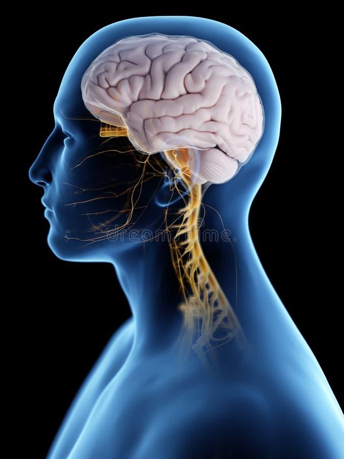 Ο εγκέφαλος και το νευρικό σύστημα ελεύθερη απεικόνιση δικαιώματος