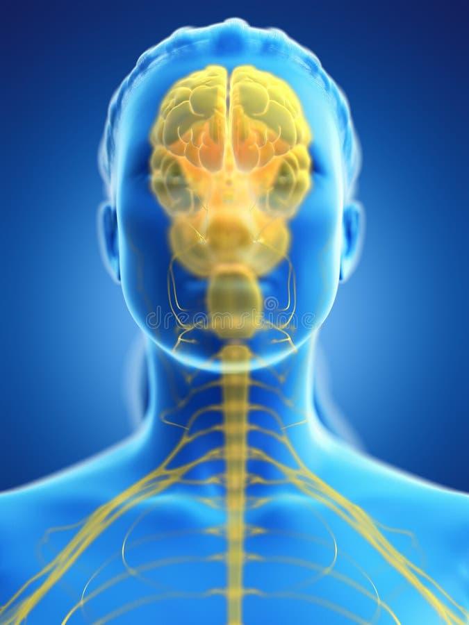 Ο εγκέφαλος μιας γυναίκας απεικόνιση αποθεμάτων